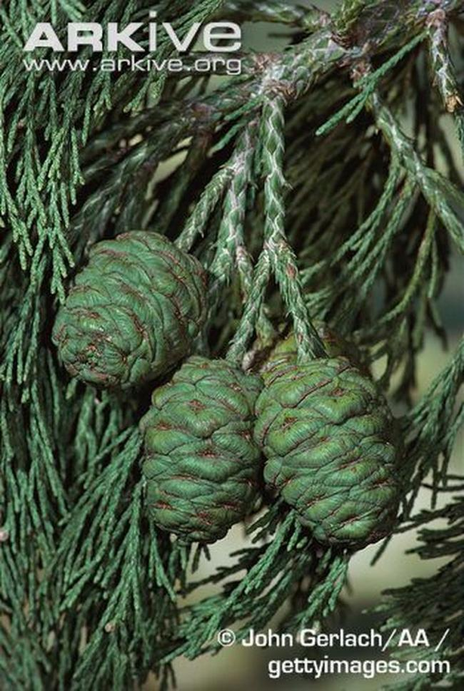 Giant-sequoia-foliage-and-cones resized